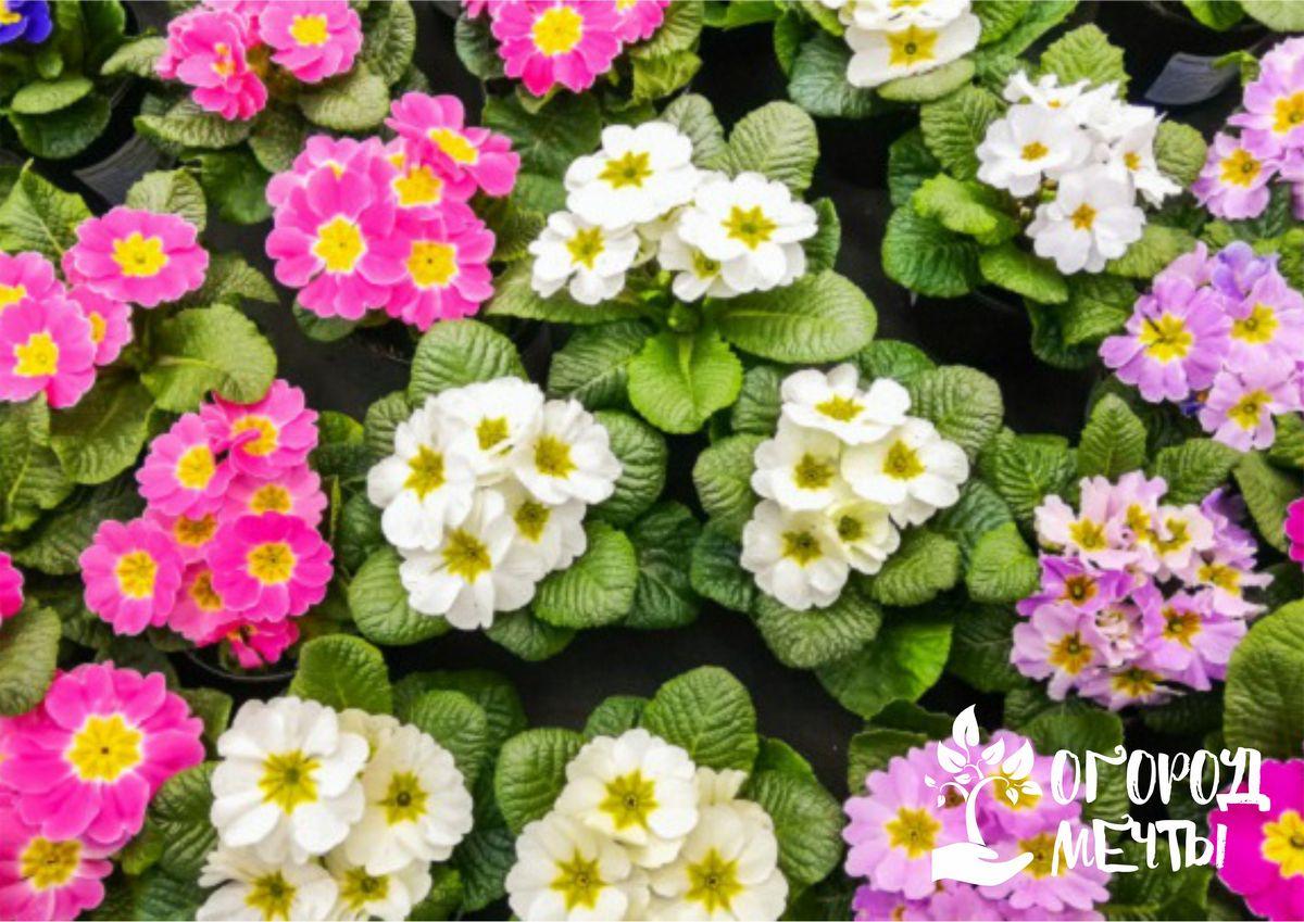 Изящные примулы: выращиваем миниатюрные садовые цветы