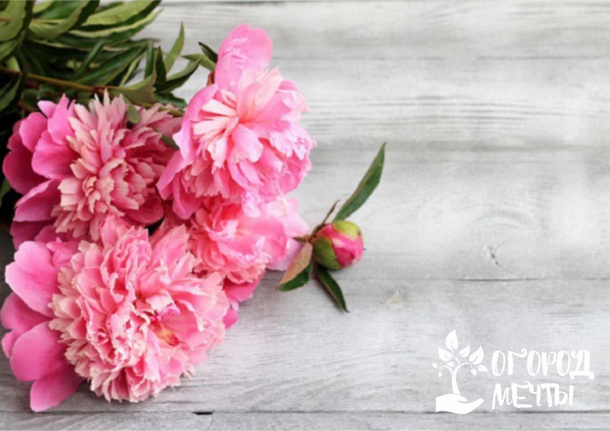 Удобряем пионы весной: лучшие методы и средства