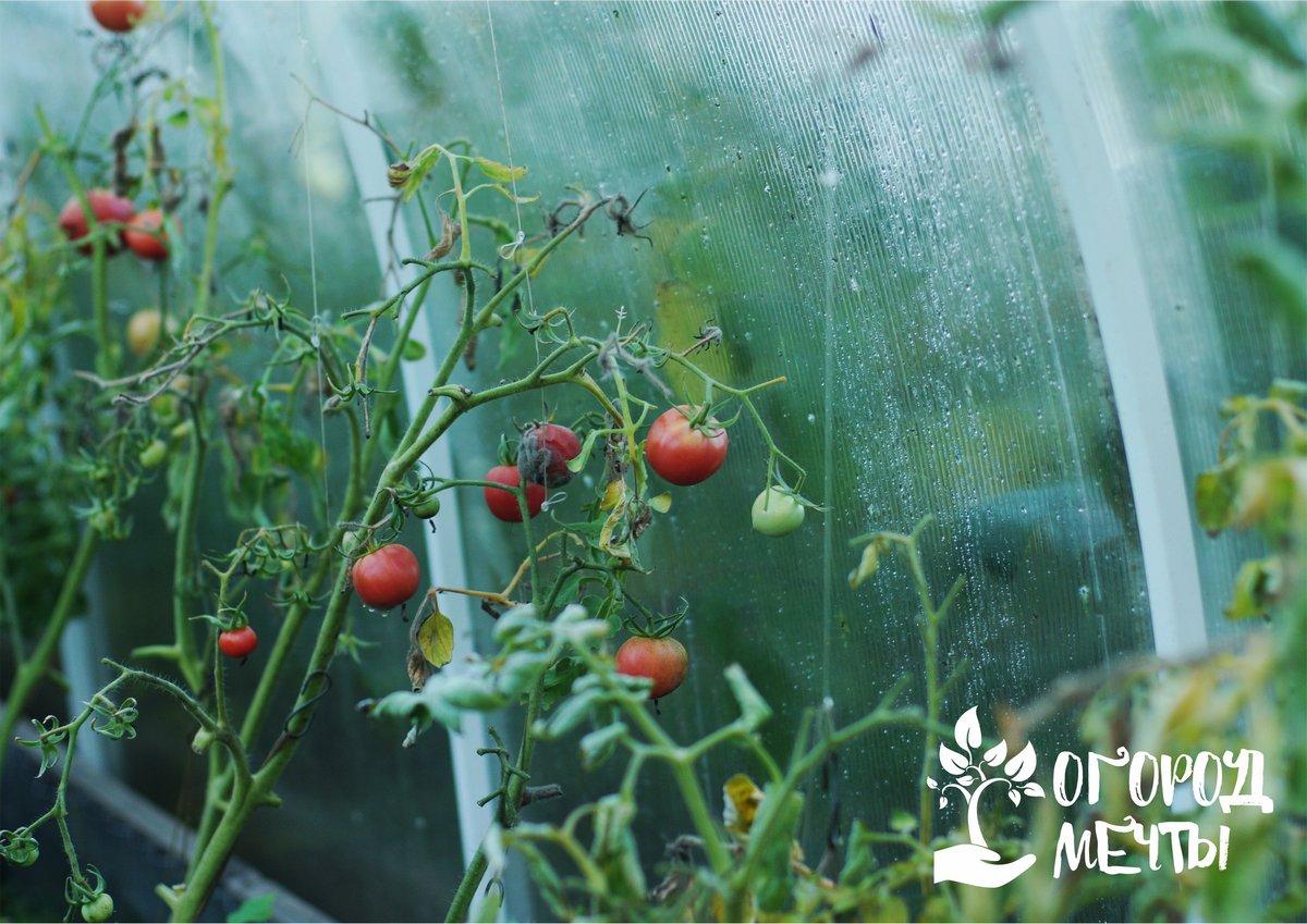 Нюансы совместного выращивания в теплице огурцов и томатов