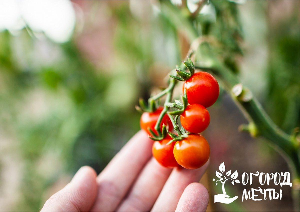 Лучшие ранние сорта помидоров для дачи