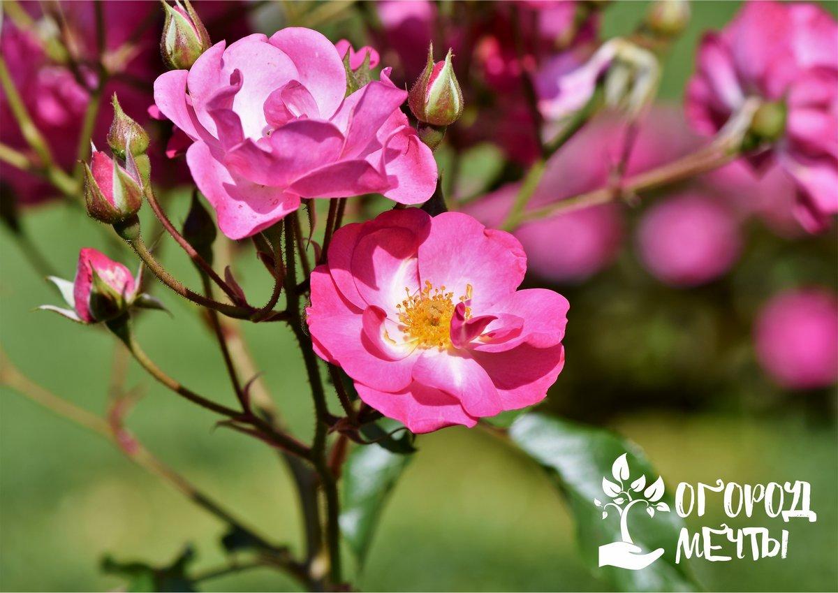 По каким признакам можно определить, что роза превращается в шиповник: