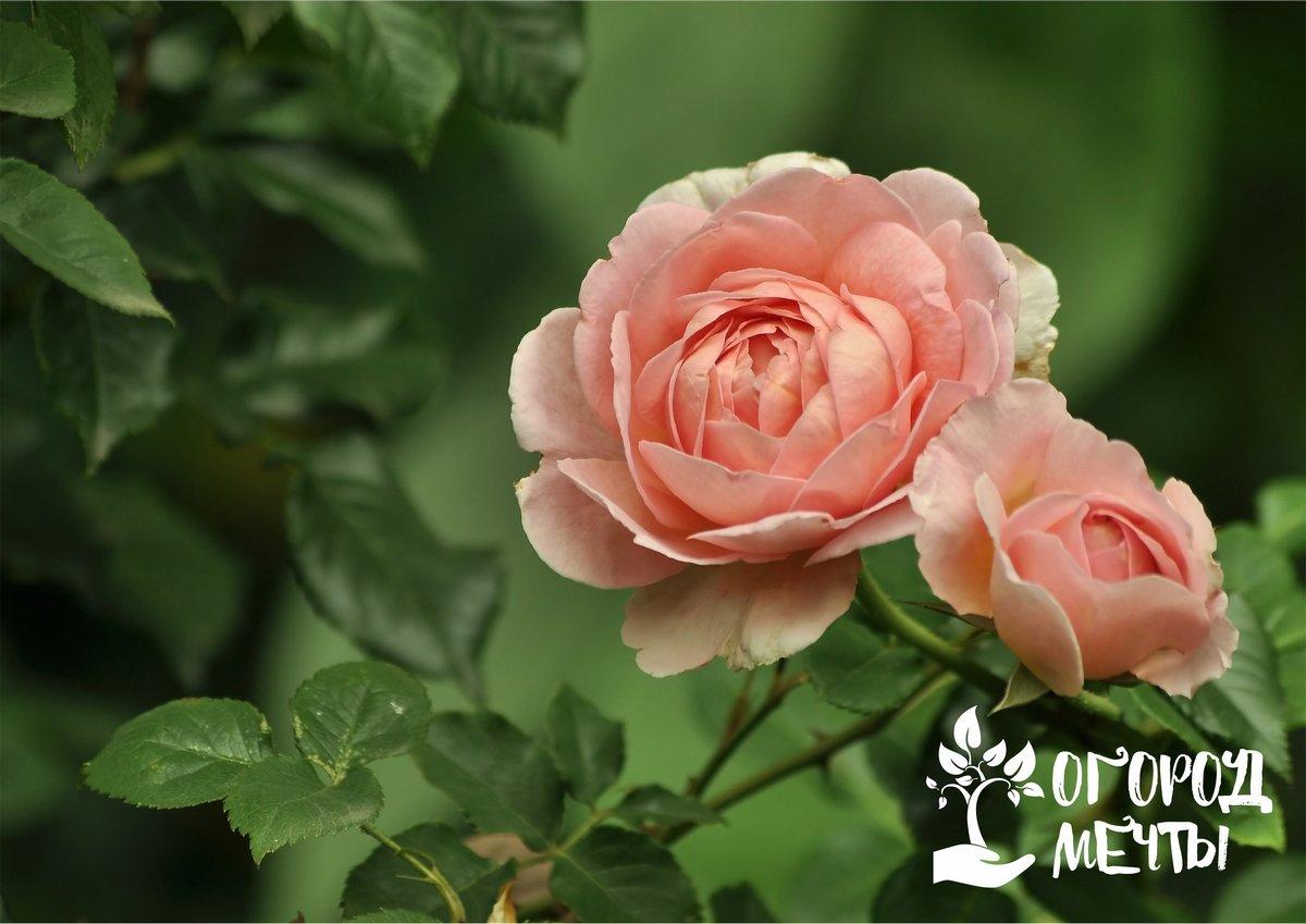Что предпринять, чтобы роза не превратилась в шиповник: