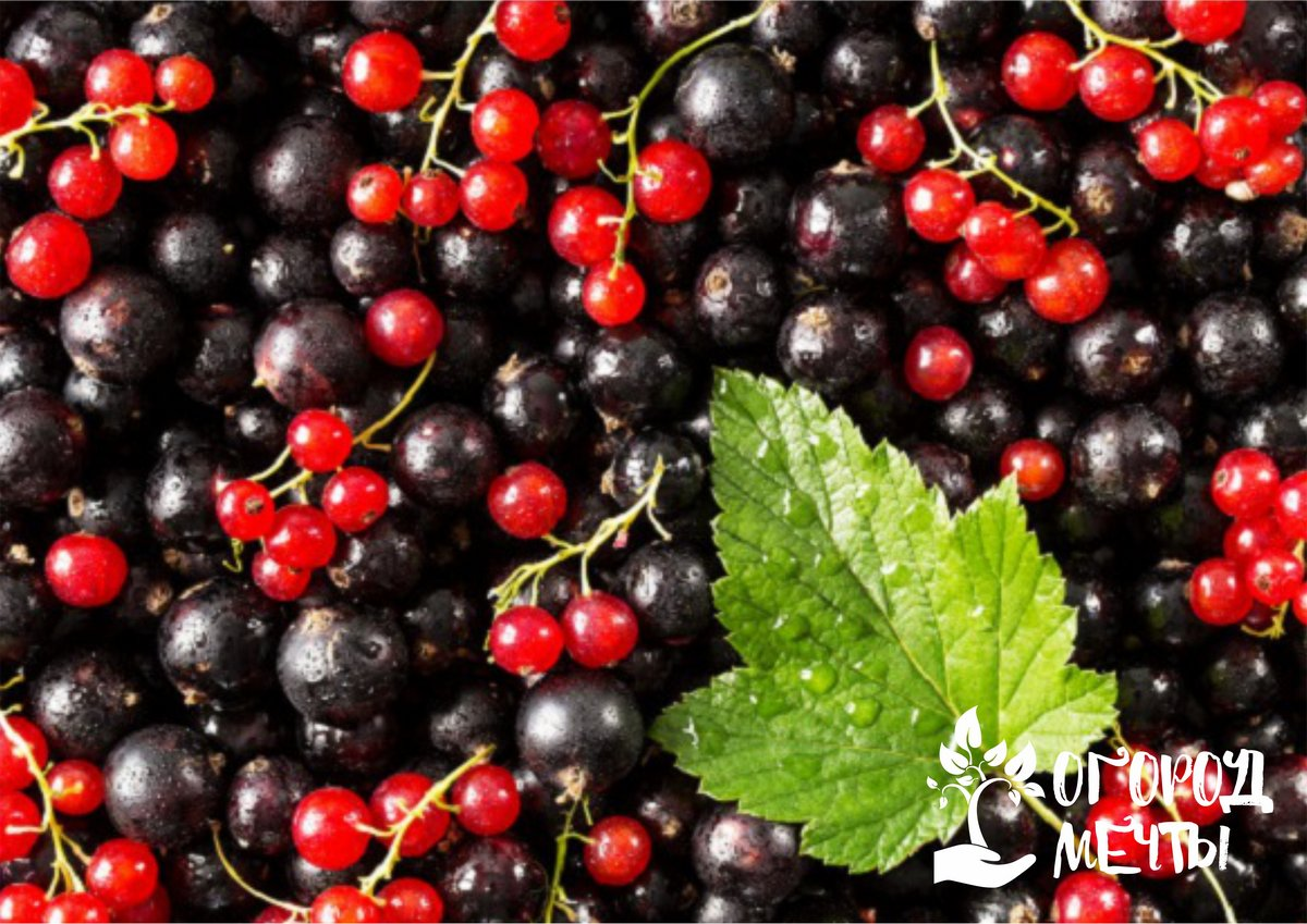 Топ-5 самых неприхотливых ягодных кустарников для дачи