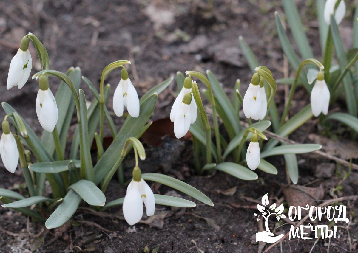 Как выращивать изящные первоцветы – белоснежные подснежники