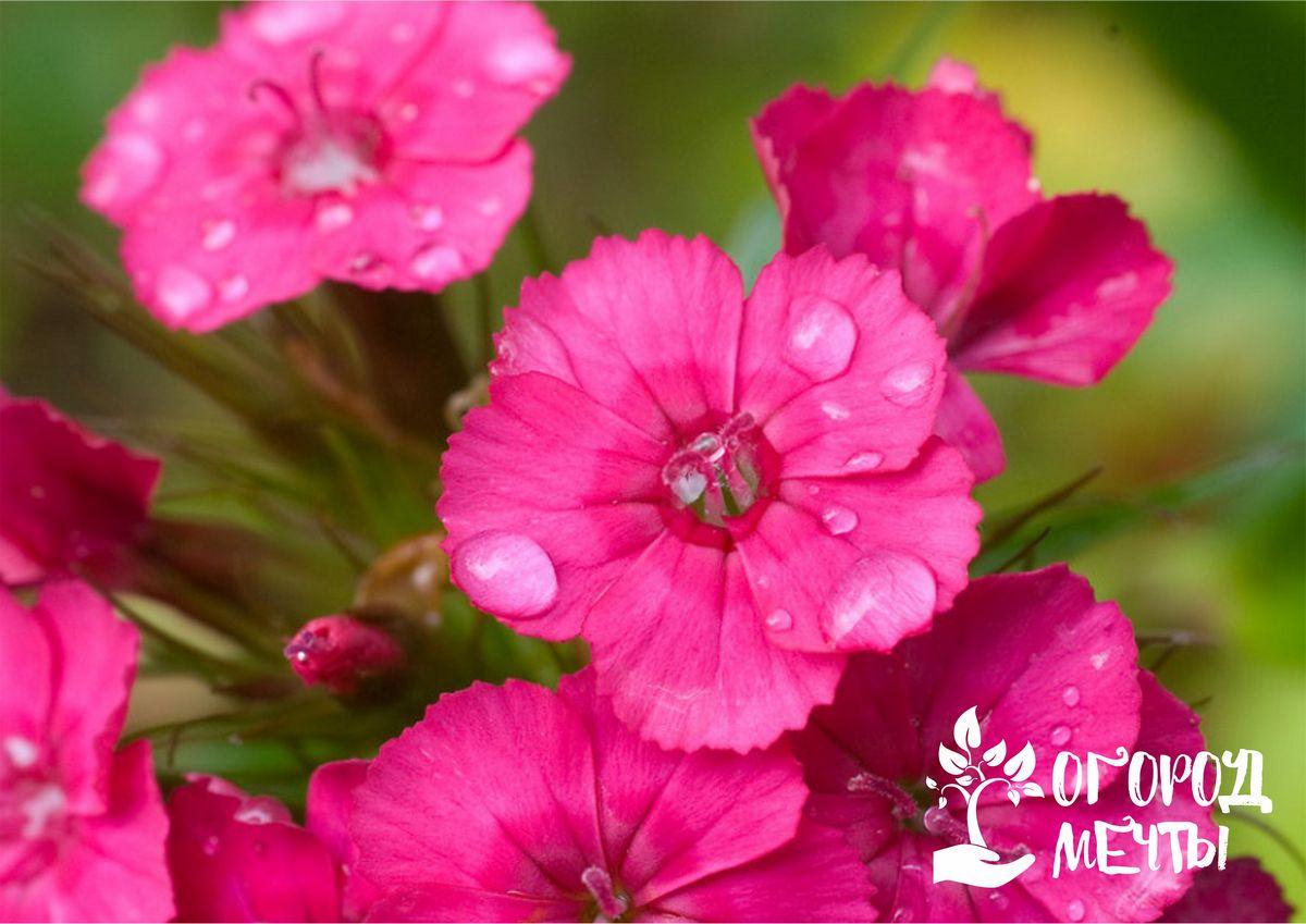 С этим растением ваша клумба будет цвести все лето: как вырастить турецкую гвоздику на дачном участке