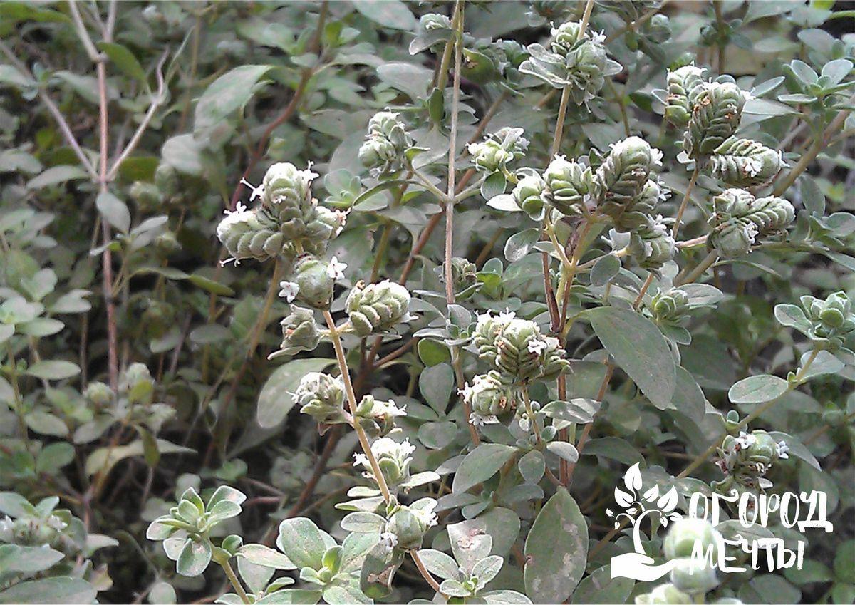 выращивается либо рассадным способом, либо прямым посевом в грунт