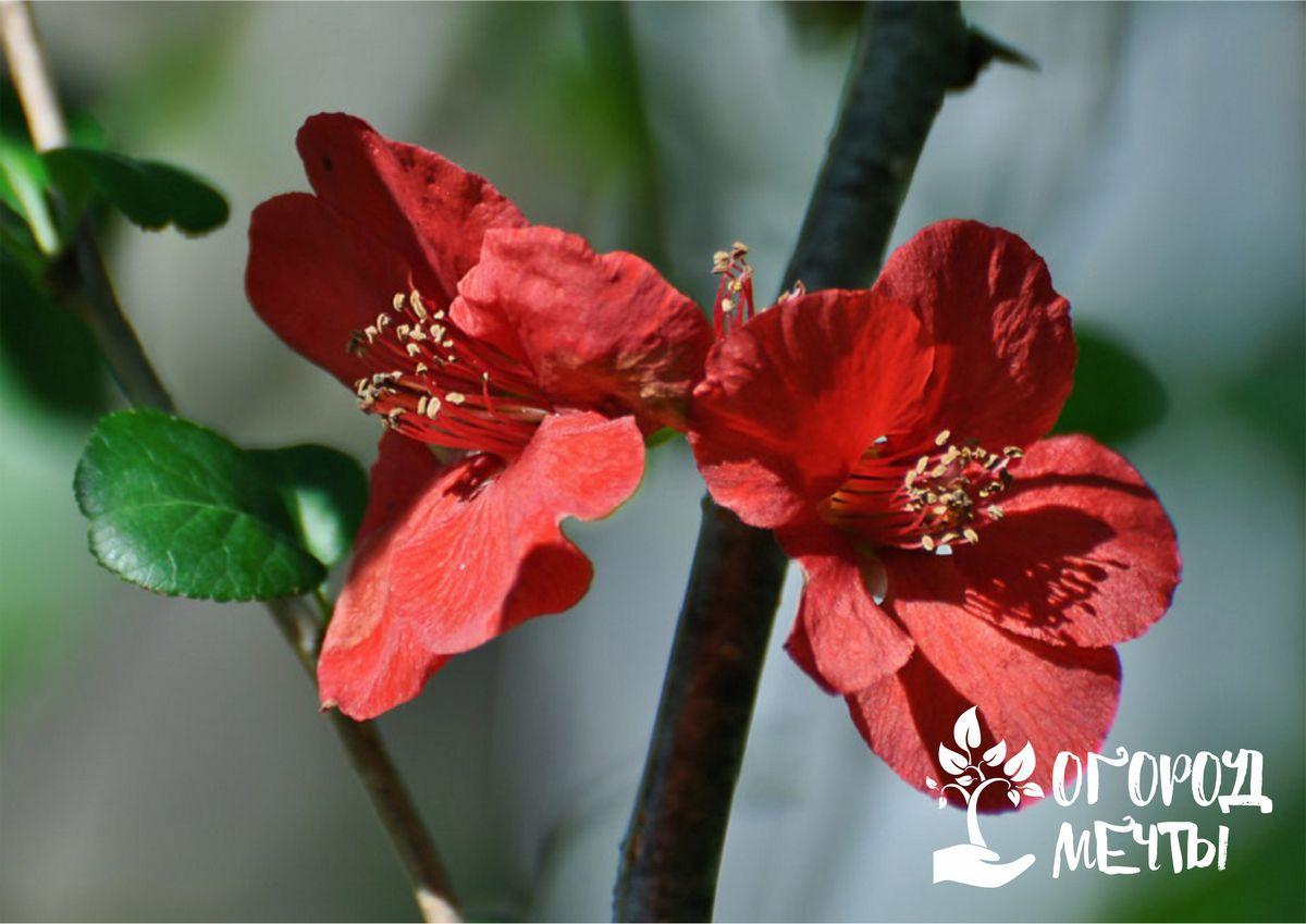 Декоративный хеномелес - нюансы выращивания японской айвы в саду