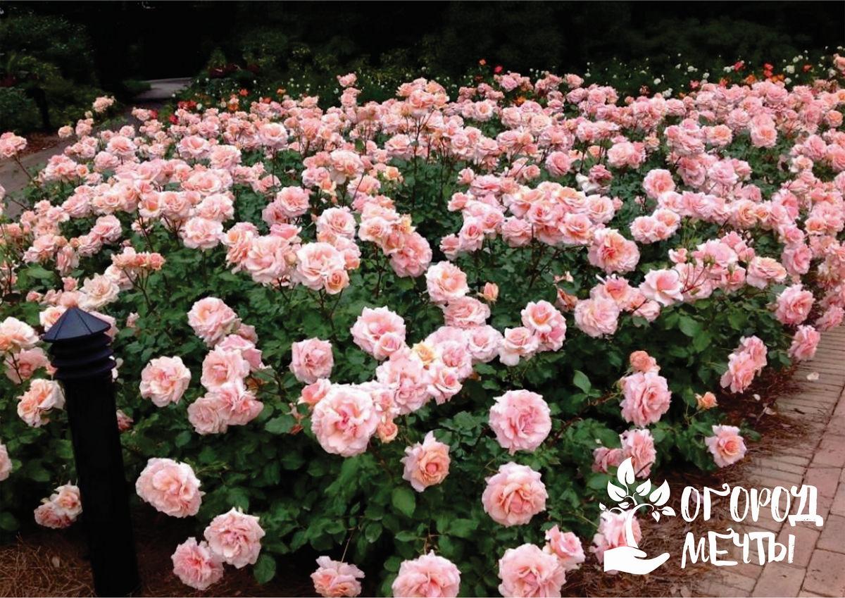 Разновидности роз-шрабов