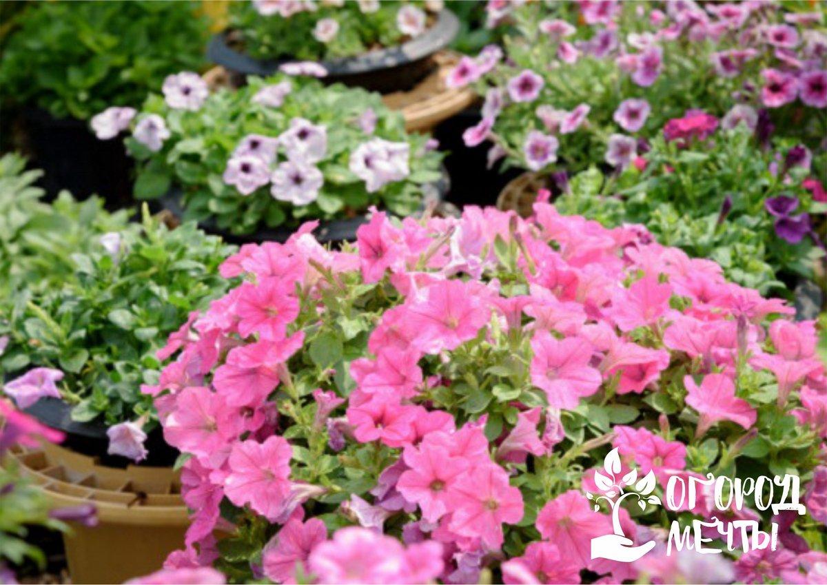 Топ-6 самых неприхотливых цветочных культур с летним цветением