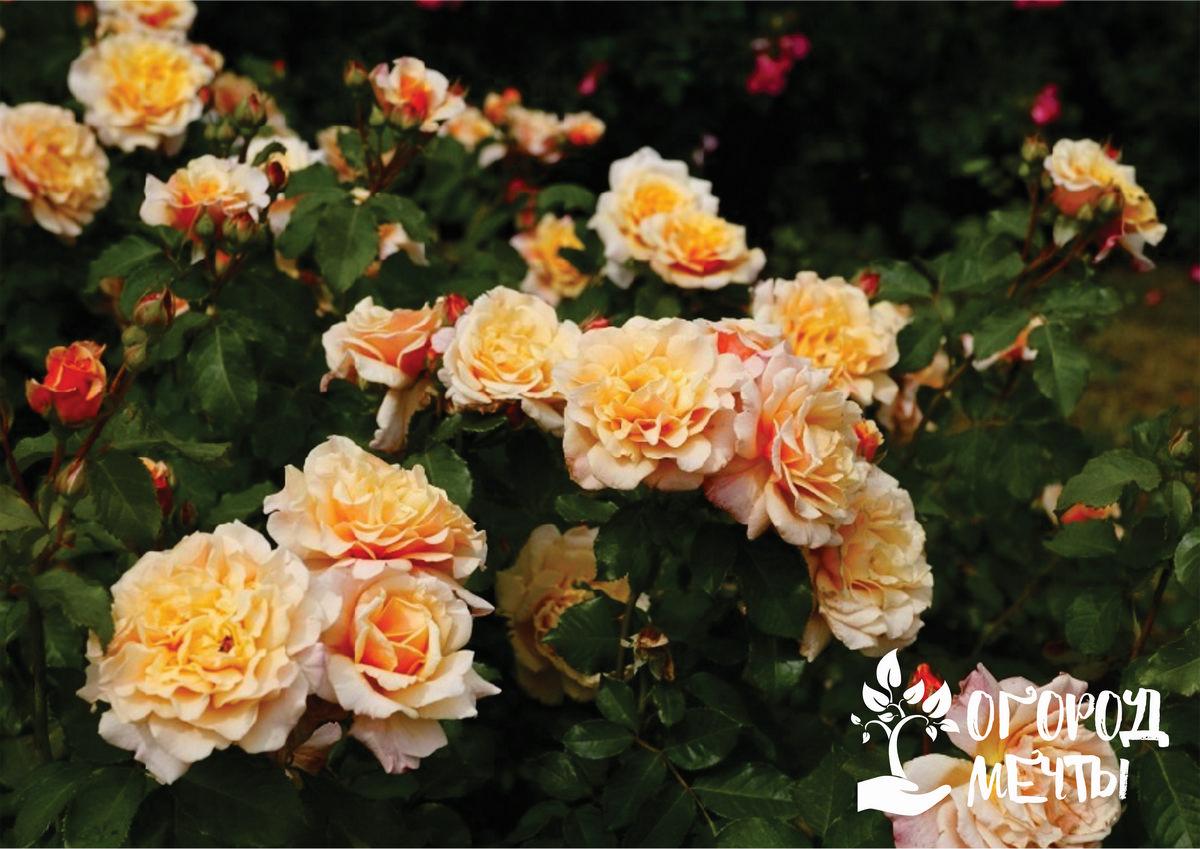 Изысканные и неприхотливые розы-шрабы: лучшие сорта и виды