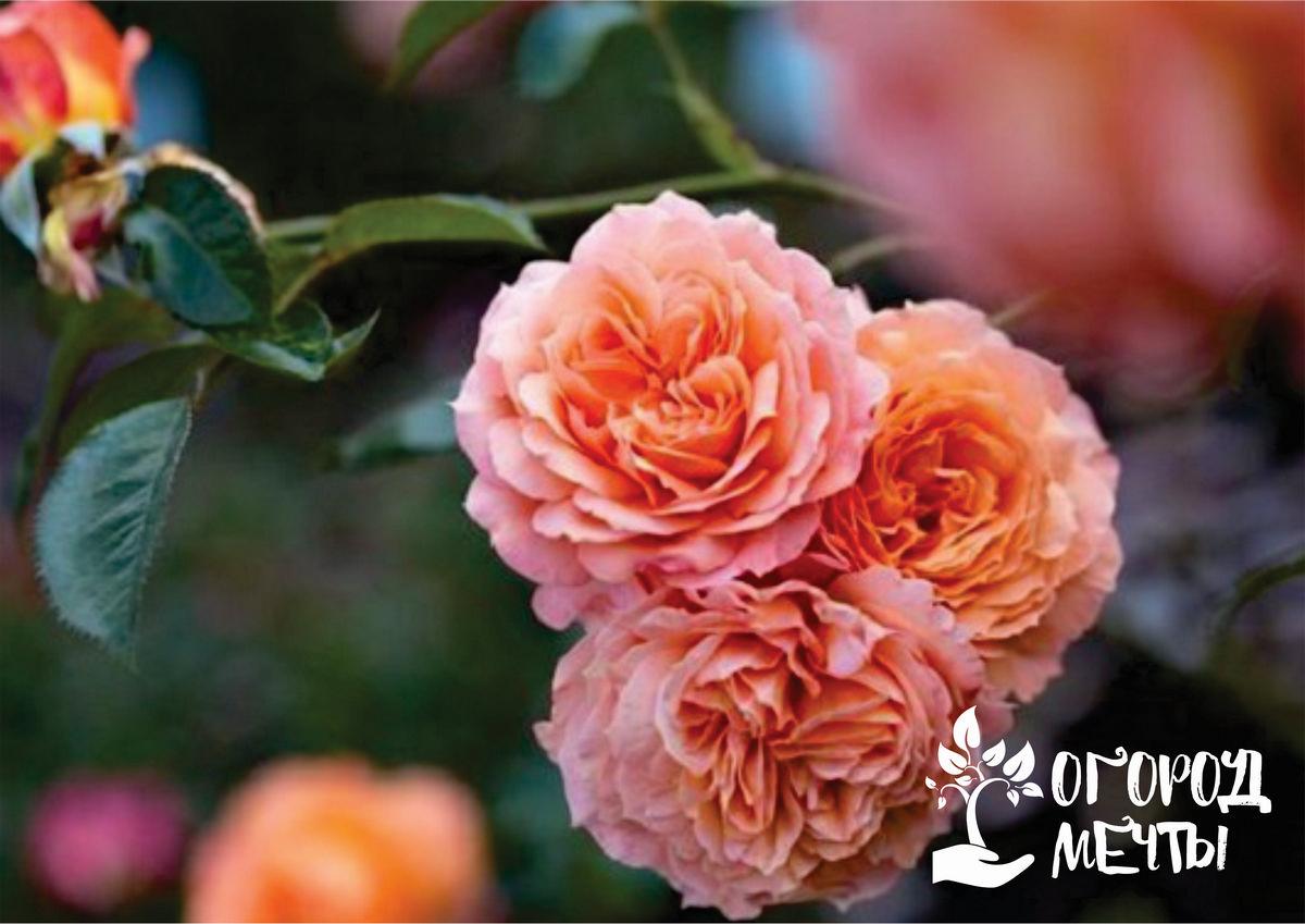 Лучшие сорта роз-шрабов
