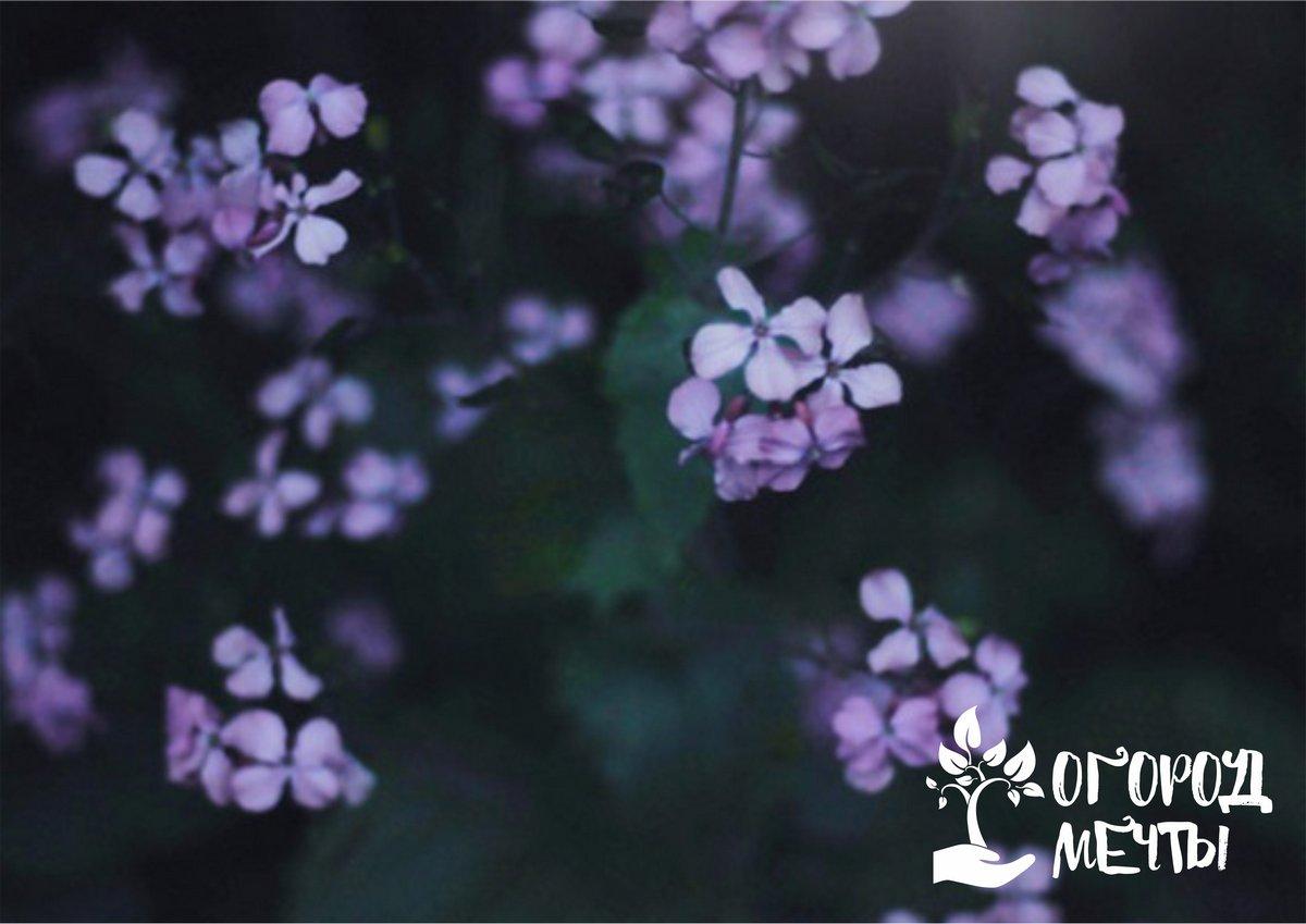 Привлекательные ночные цветы - лучше разновидности