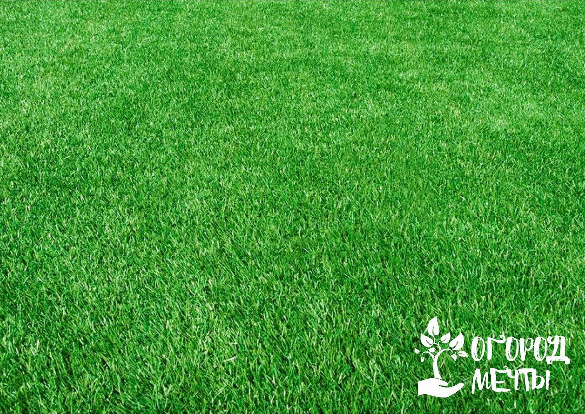 Без этих трав представить газон невозможно! Лучшие варианты травянистых культур для шикарного газона