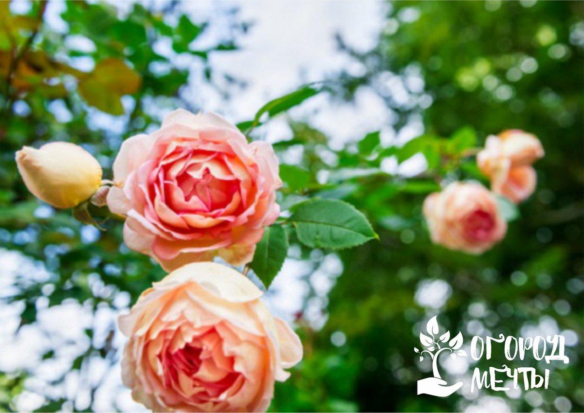 в начале месяца розы идут в активный рост