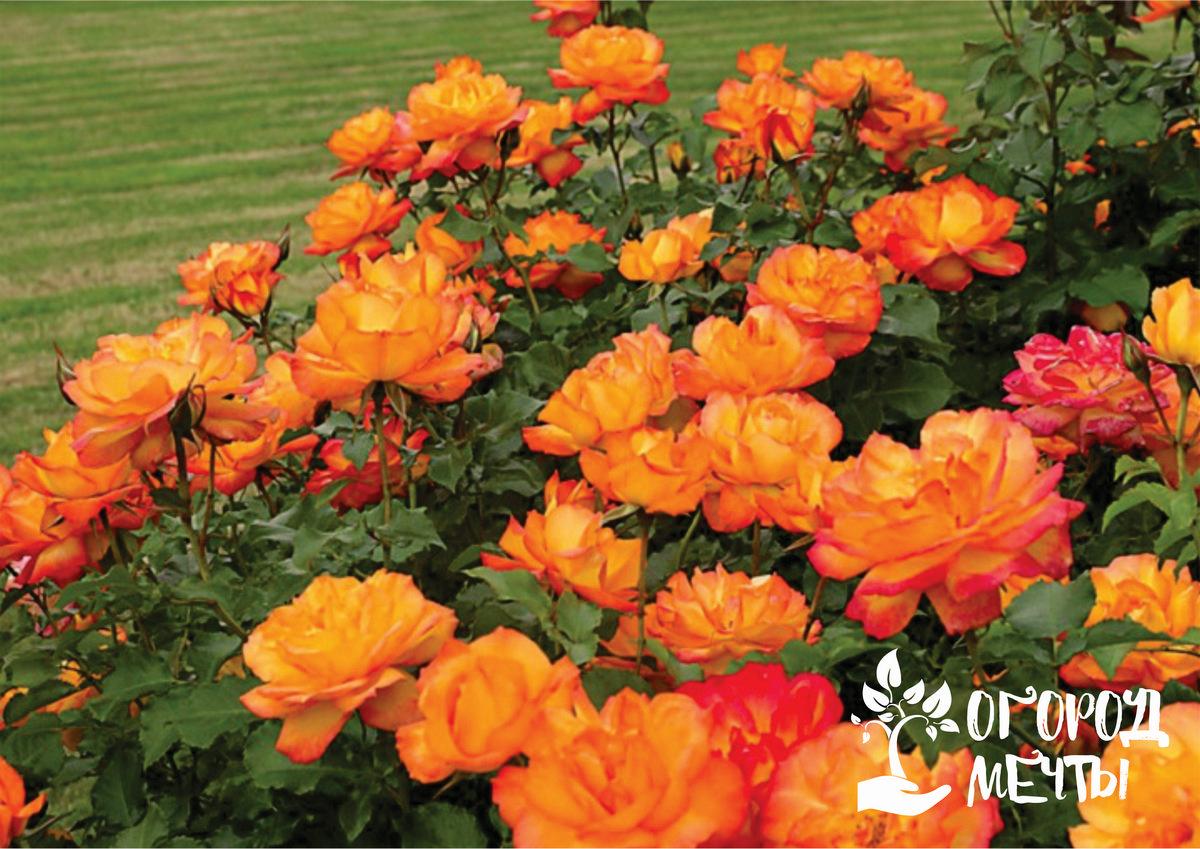 Существует несколько основных способов посадки шрабовых роз: