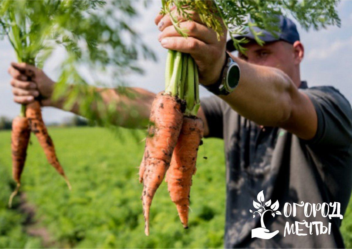 Полезная и сладкая! Как вырастить очень вкусную морковку на даче