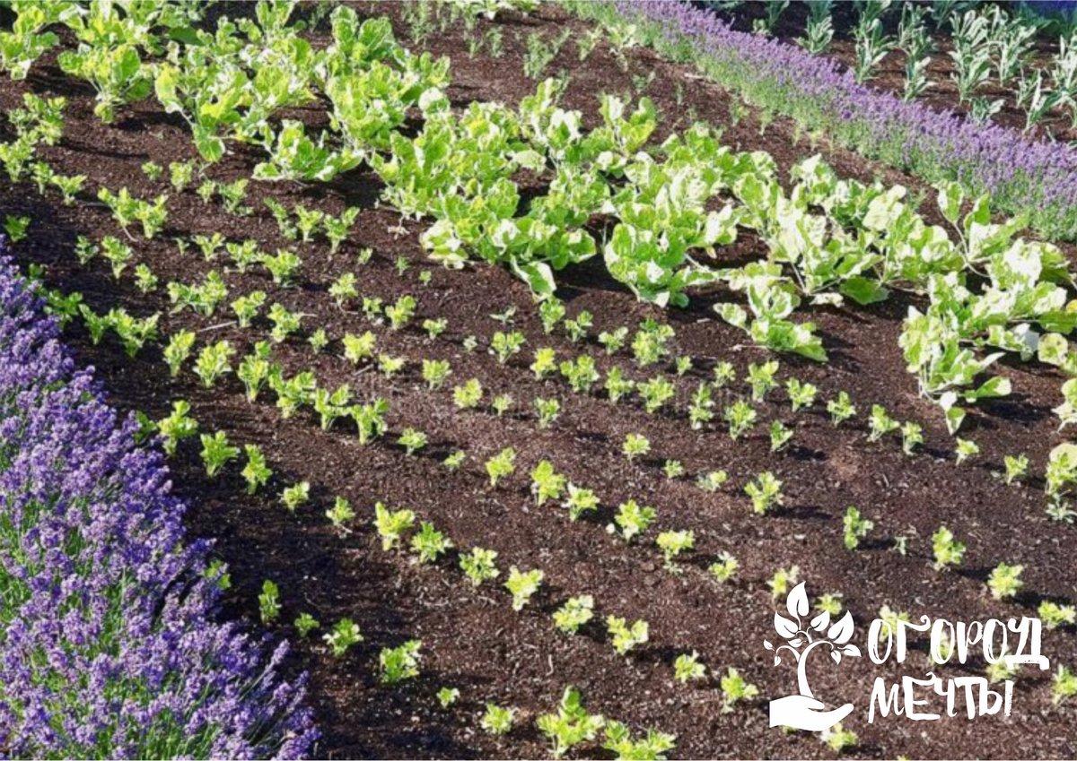 9. Удобрение. Растения можно успешно подкармливать калием перманганатом