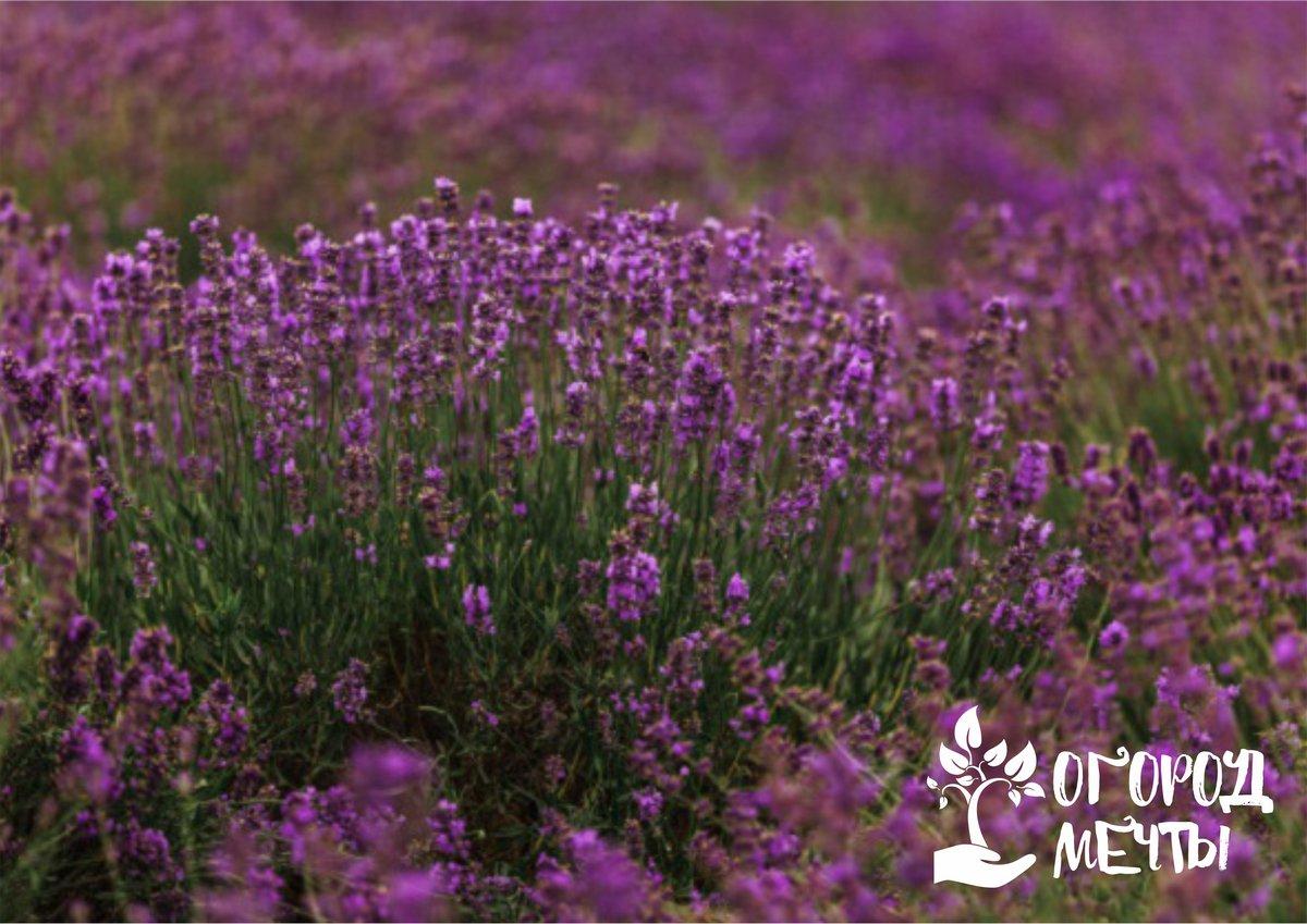 Волшебный аромат в саду 24/7! Какими ароматными растениями оформить цветник в 2021 году