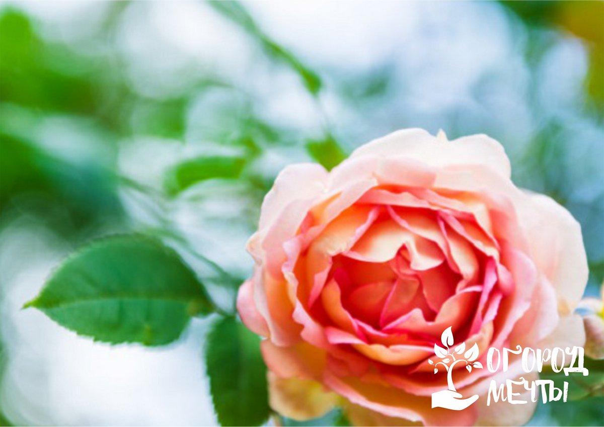 важно уделить максимум внимания прополке приствольного круга у розовых кустов