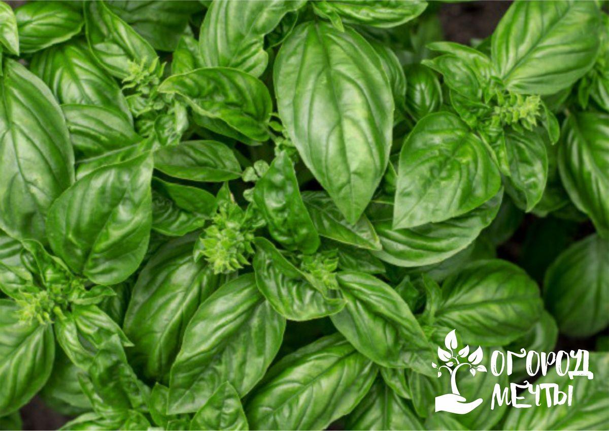 Без этой пряности на кухне не обойтись! Лучшие сорта пряного базилика с отменным вкусом и ароматом – для теплицы, огорода или подоконника