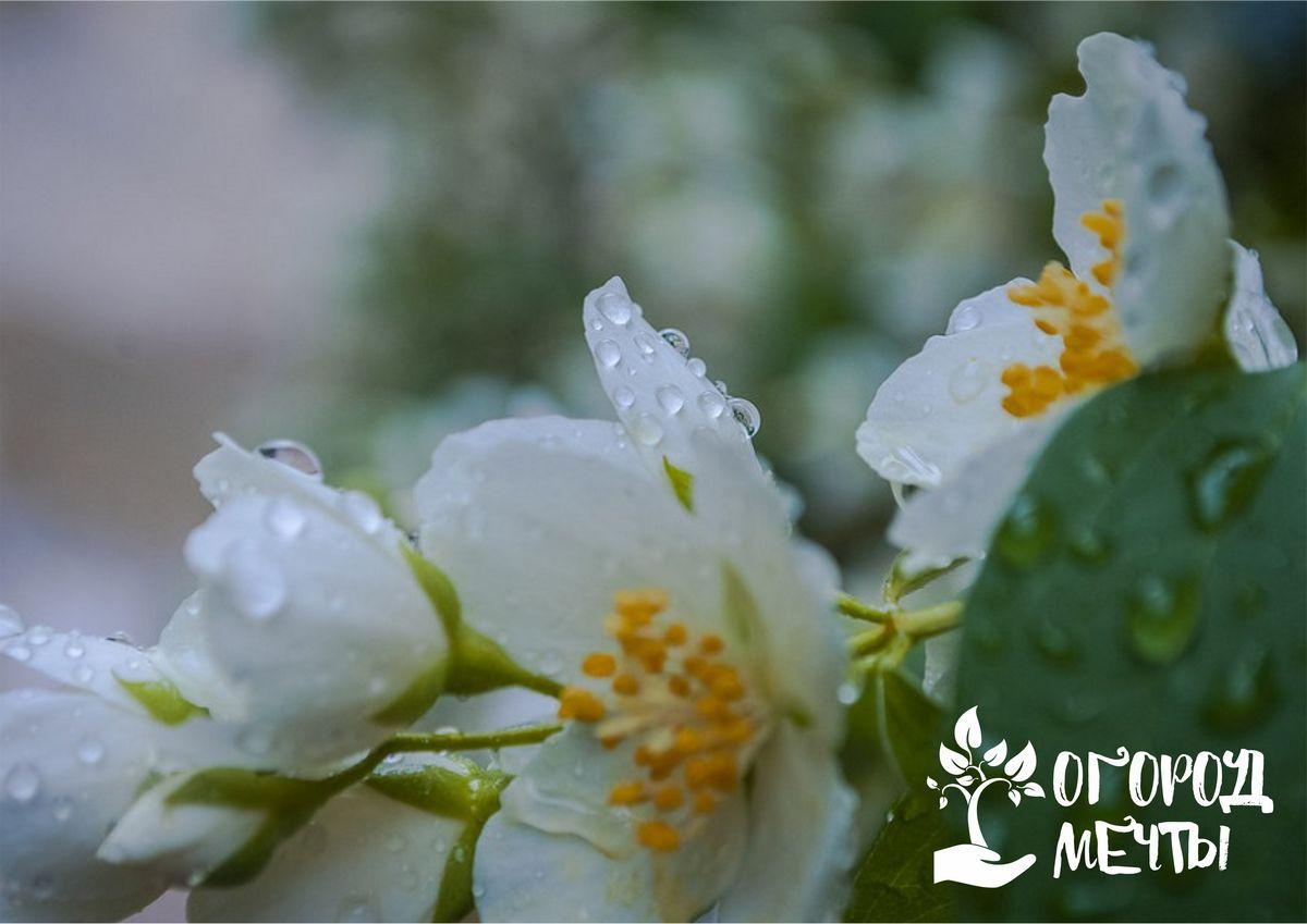 """Миниатюрные кусты чубушника """"Комсомолец"""""""