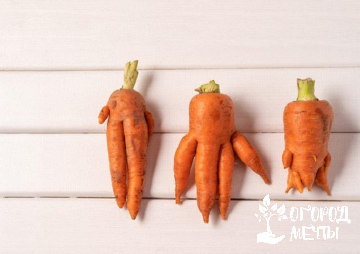 """7. """"Карамелька"""". Сладкий и сочный сорт морковки"""