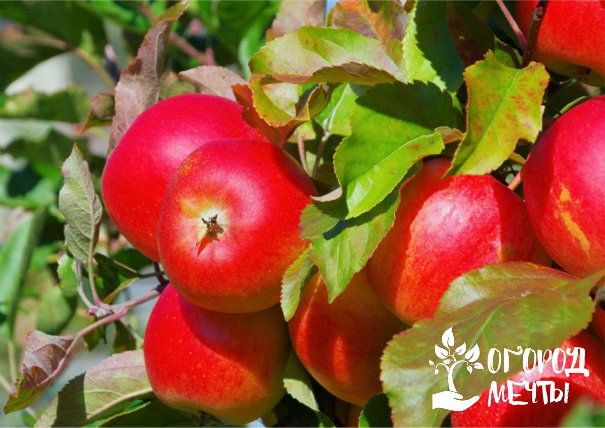 Лучший выбор для маленького сада! Список урожайных миниатюрных яблонь карликового подвоя