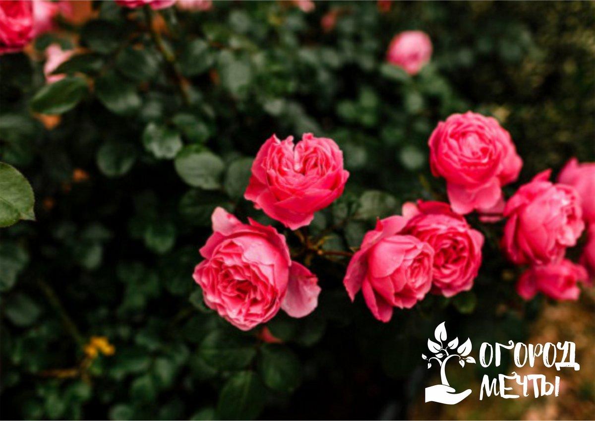 Ваши розы зацветут, если вы сделаете это! Календарь ухода за всеми видами садовых роз на весну и лето