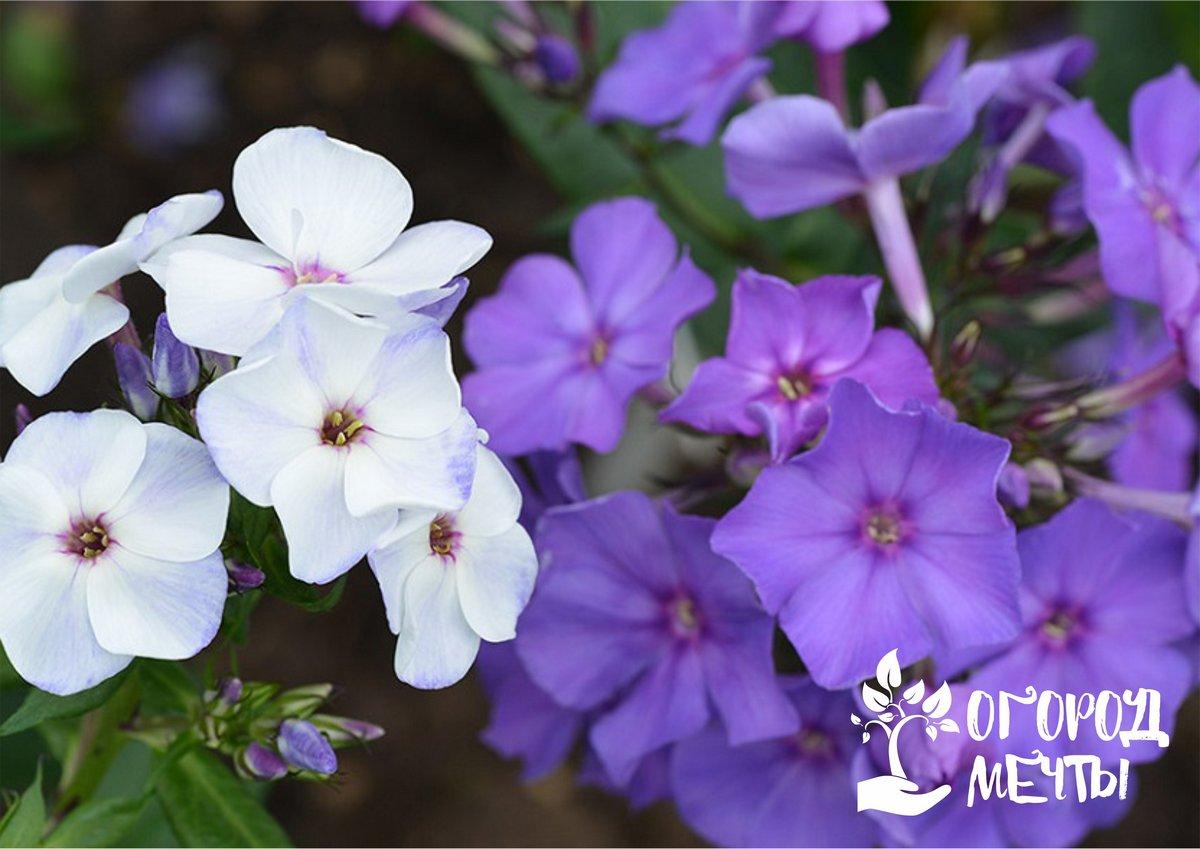 С этими растениями ваши клумбы будут цвести все лето! Топ-7 многолетников, которые зацветут в первый год посева