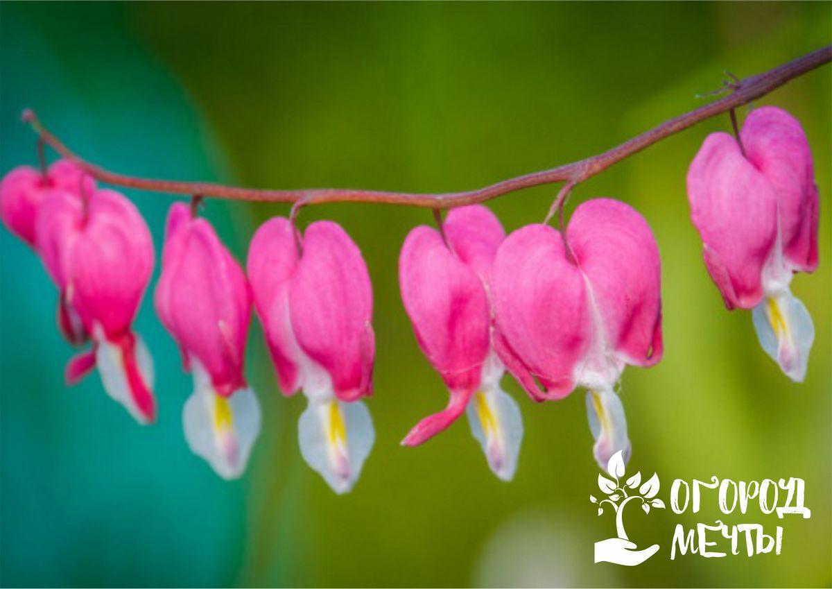 Миллион сердечек на вашей клумбе! Все о выращивании необычного цветка – дицентры