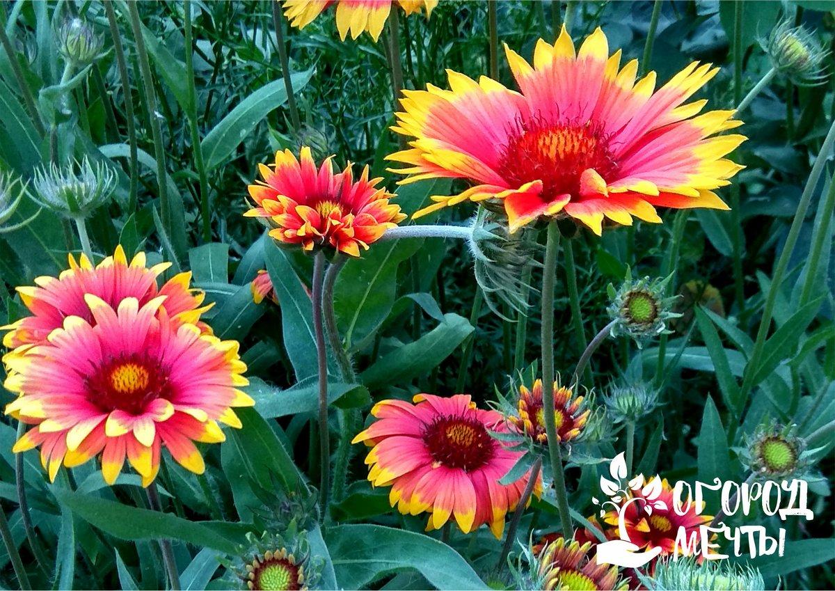 Гайлардия - выращивание и уход