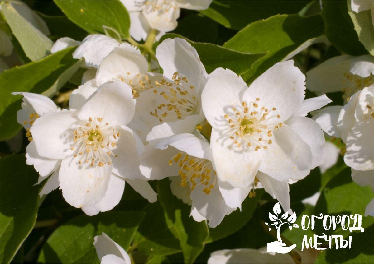 Жасмин садовый или чубушник: особенности посадки и лучшие сорта