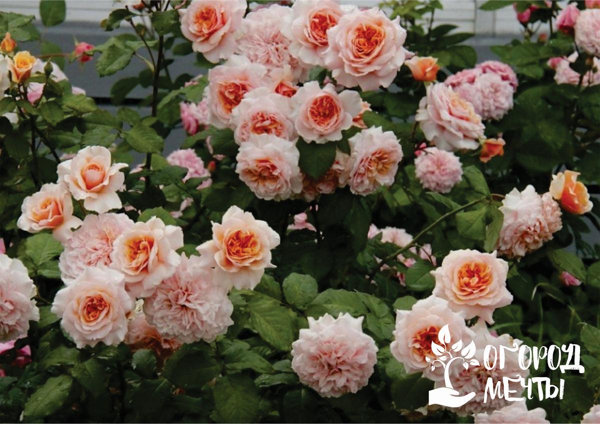 Прекрасная роза-шраб: нюансы посадки и ухода за цветущим кустарником