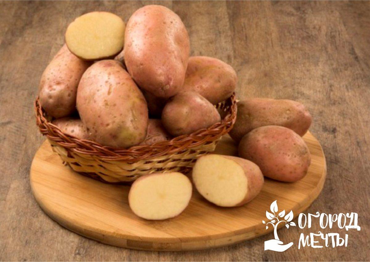 Без этих сортов картофеля раннего урожая не будет! Лучшие сверхранние сорта картошки для вашего огорода