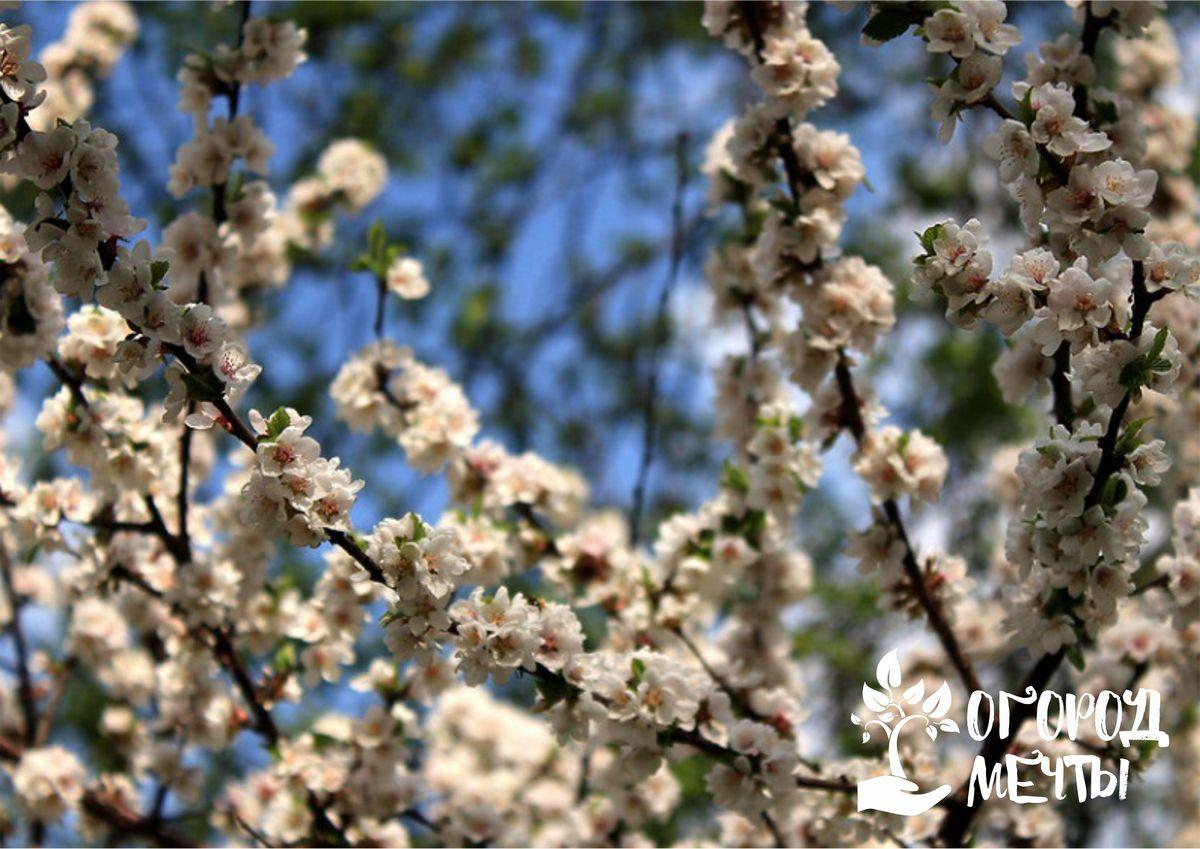 Шикарное цветение и вкусные ягодки! Все о выращивании войлочной вишни на даче