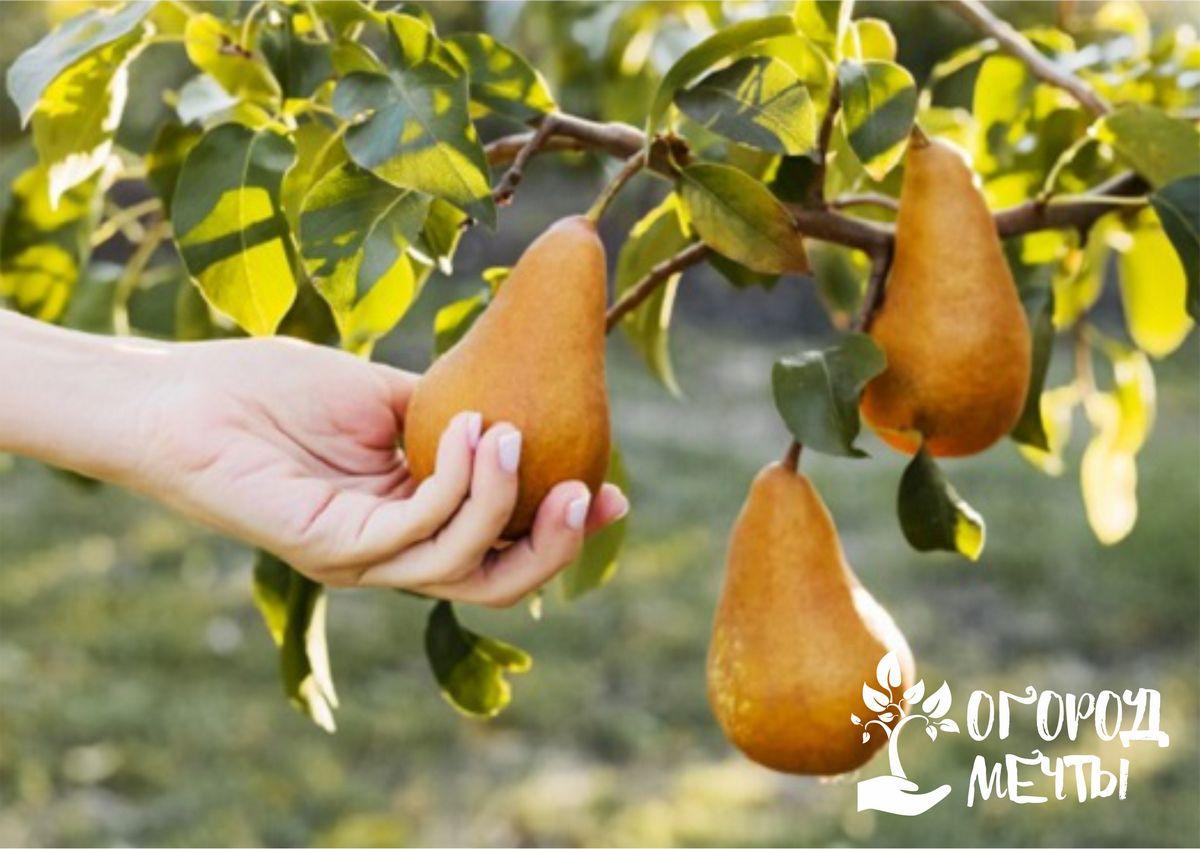 Хорошему урожаю быть! Календарь подкормок для груш и яблонь весна-лето