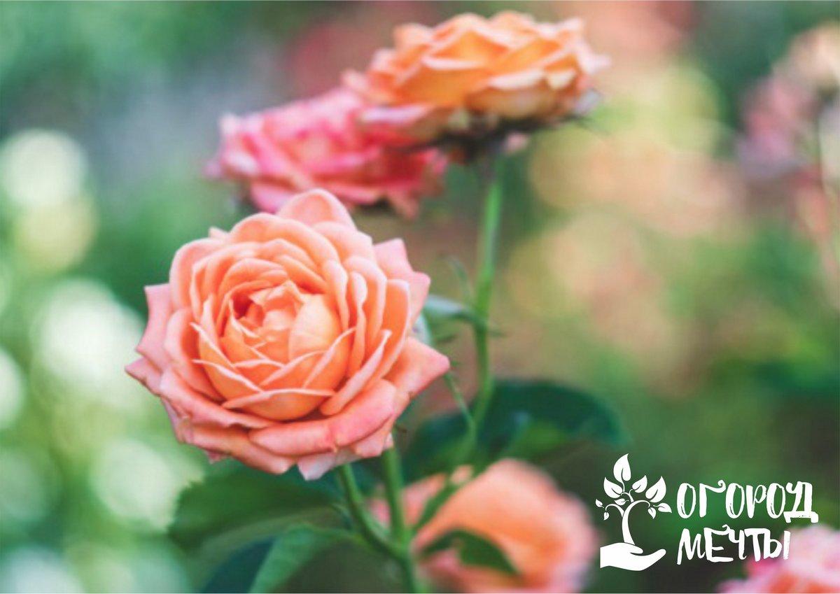 В жаркие июньские дни розы пытаются немного отойти от цветения и уже нарастить зеленую массу