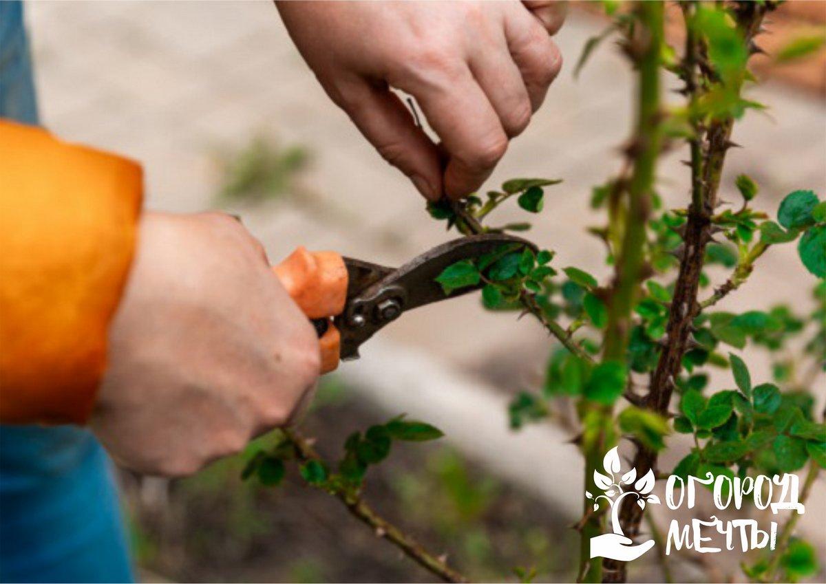 Чтобы декоративные многолетники радовали пышным цветением каждый год! Плановая майская обрезка кустарников: календарь мероприятия