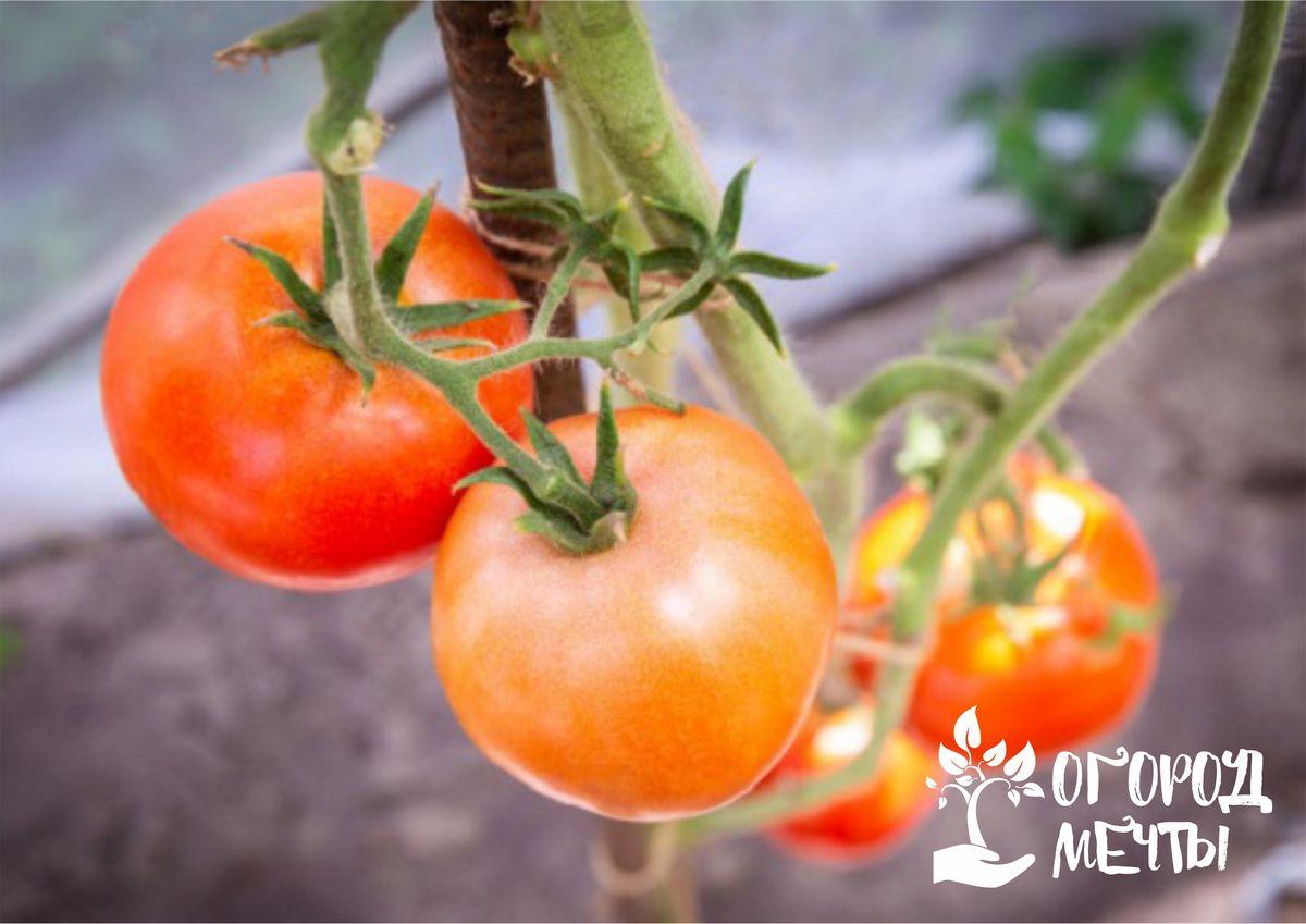 Особенности низкорослых помидоров