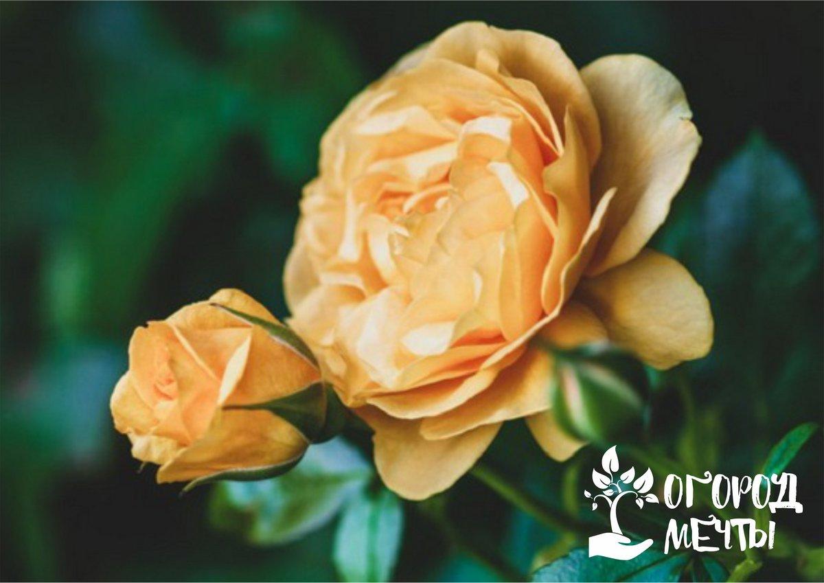 Летний уход за розами нужно завершить профилактической обработкой растений от грибка