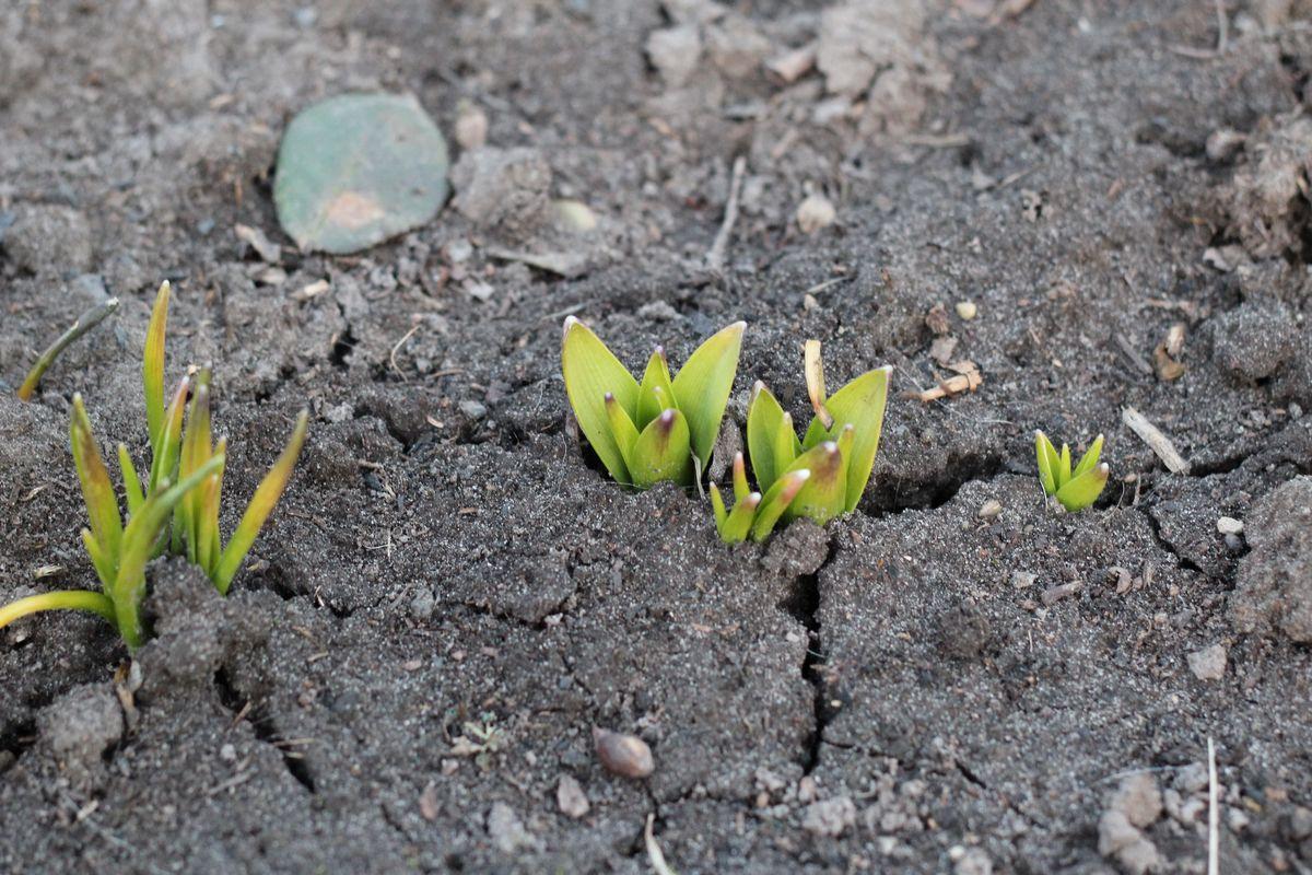 А вот в конце апреля уже можно высаживать лилии и сортовые гладиолусы