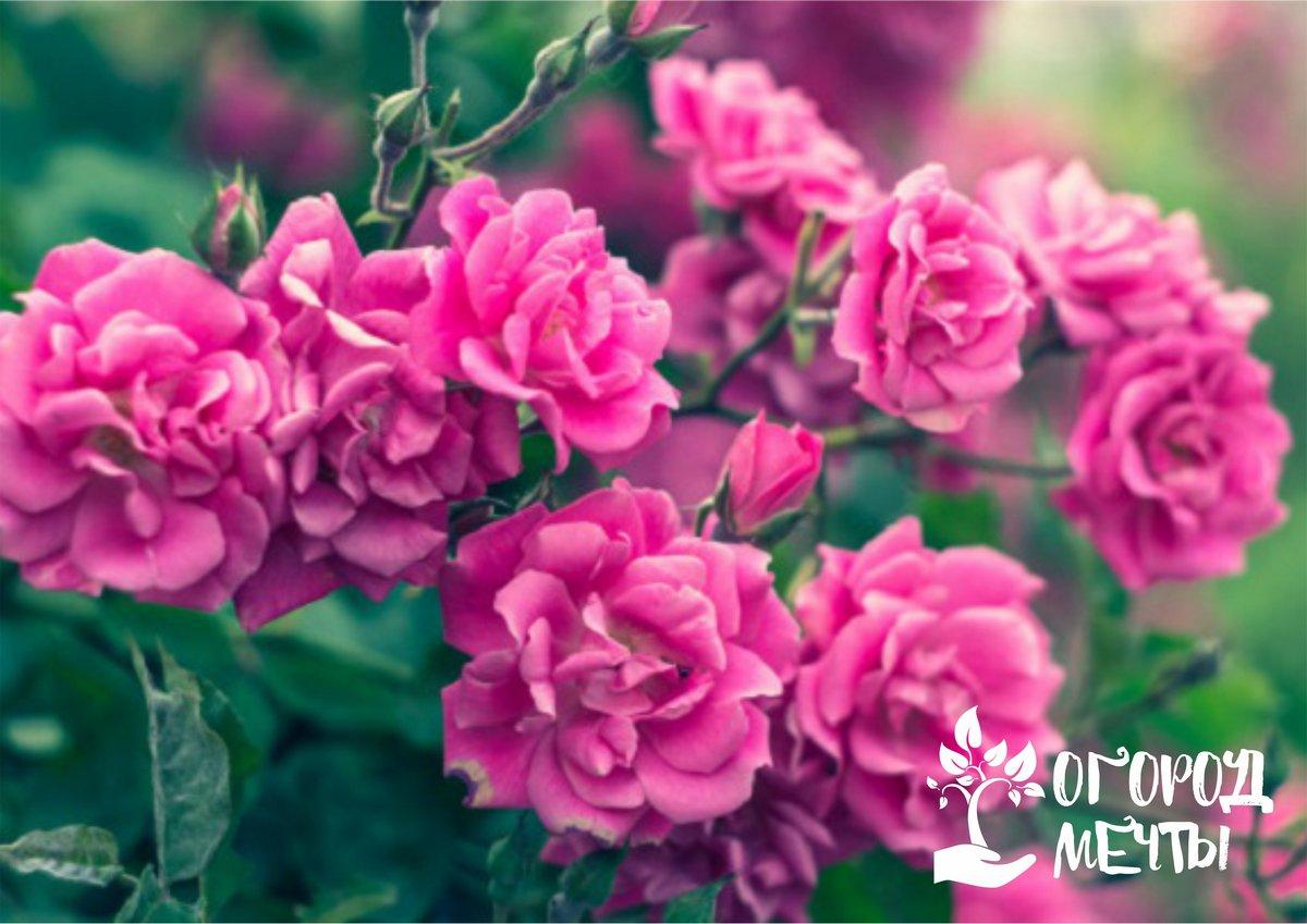 С первыми днями июля наступает пора обрезки тех побегов розовых кустов