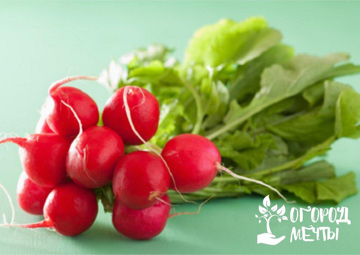 Урожай редиса будет щедрым, если знать некоторые секреты! Рассказываем о всех нюансах выращивания вкусного и сочного редиса на огородной грядке