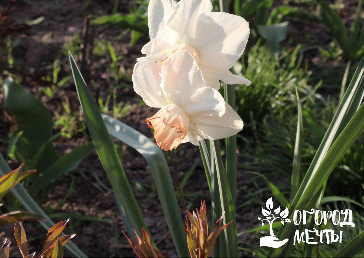 Беспрерывное цветение на вашей клумбе весной станет реальностью благодаря этим нарциссам! Топ-9 самых красивых сортов нарциссов для вашей дачи