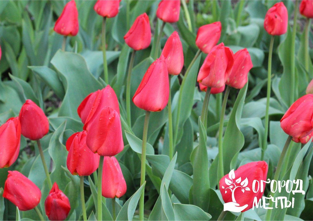 Весенние тюльпаны в саду отцвели: как правильно ухаживать за луковичной культурой по окончанию цветения