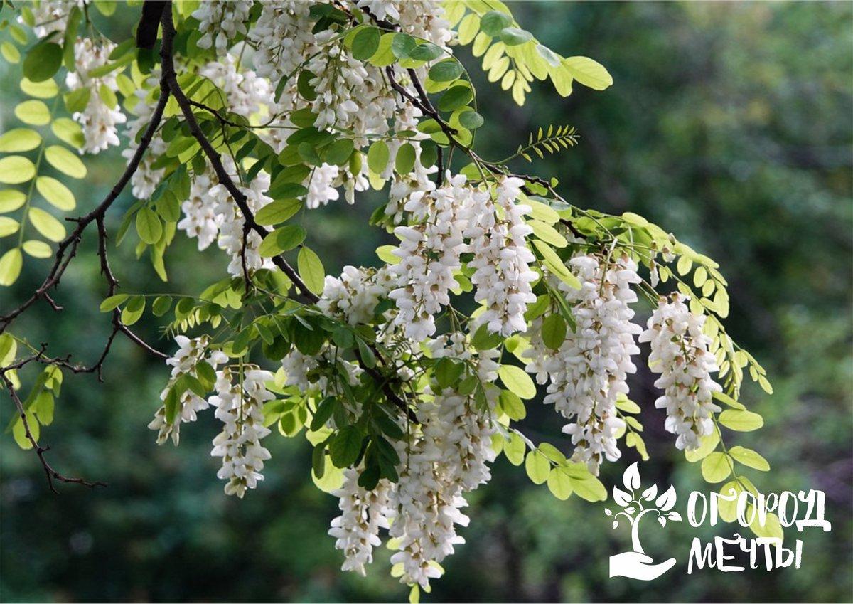 Декоративное дерево для крупных дачных участков: все о выращивании прекрасной робинии
