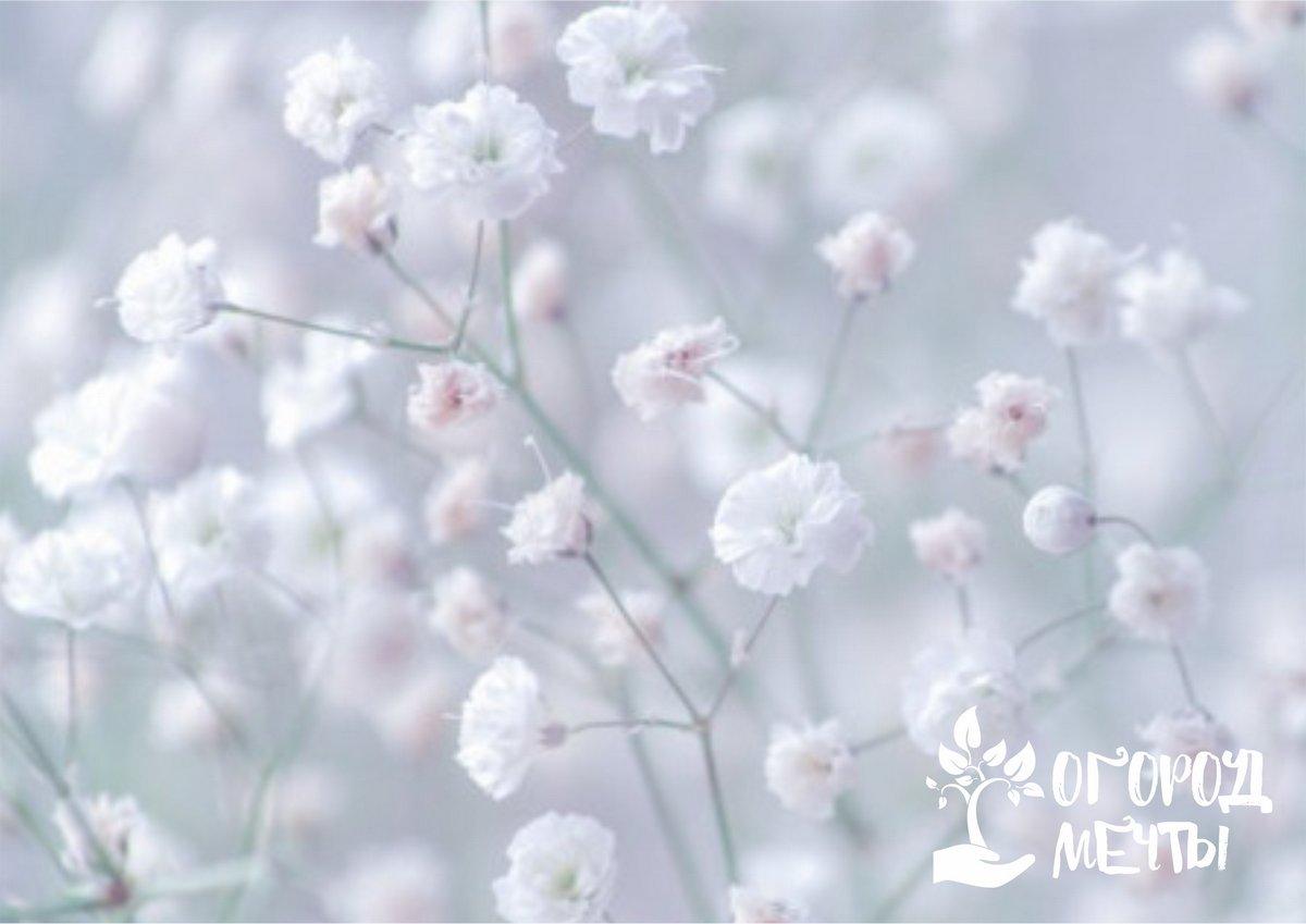 Популярный гость флористических композиций и букетов – гипсофила! Все о выращивании самого нежного садового цветка