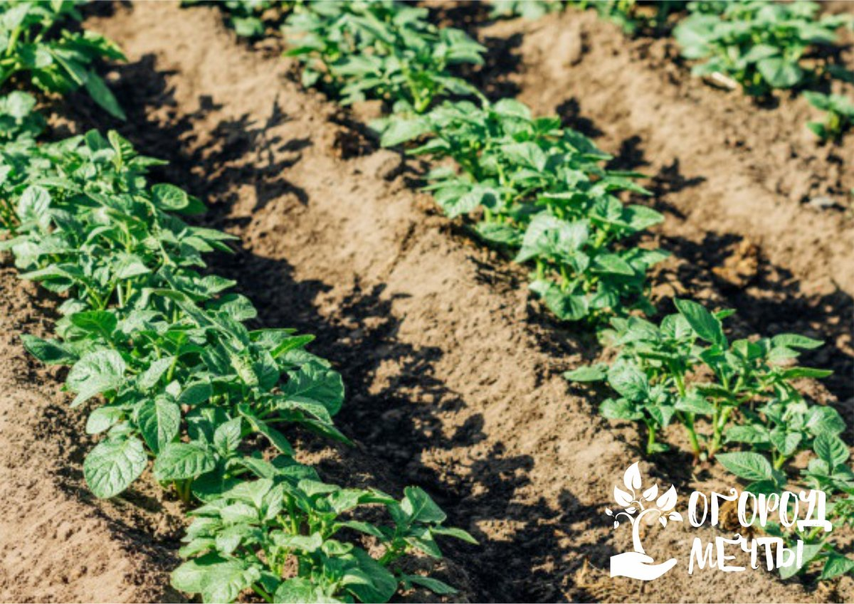 Спасаем картофель от перегрева: топ-4 метода