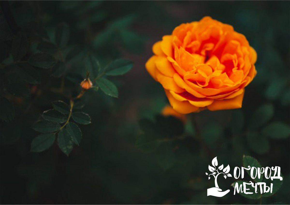 Посадка вьющейся розы