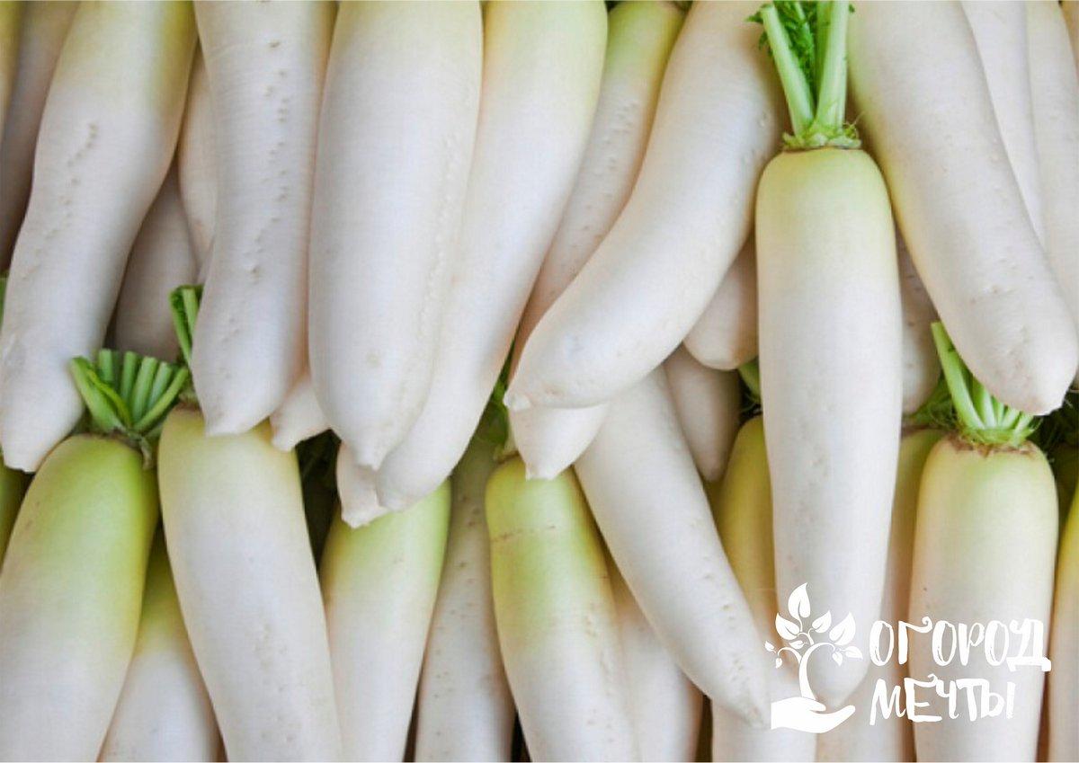 Один из самых диетических овощей на огороде для красивой фигуры! Раскрываем все секреты выращивания полезного дайкона!